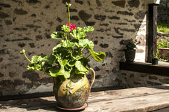 Ceramic flowerpot with geraniums Stock Images
