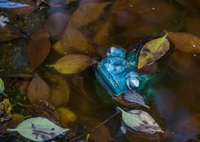 Ceramic green frog isolated in a pond. A green ceramic frog isolated in a pond with water and fallen leaves image with copy space in landscape format stock photography