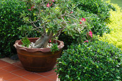 Ceramic planter with pink flowers Stock Image