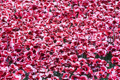 Ceramic Poppies at Tower of London. Close up of some of the 888,246 ceramic poppies that have been placed around the Tower of London to commemorate the British stock photos