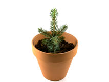 Ceramic pot with spruce tree growing. Isolated on white. Ceramic pot with soild inside, where spruce tree growing. Isolated on white Stock Photos