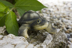 Ceramiczny żółwia obsiadanie na skale Obraz Stock