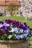 Ceramiczny garnek z pansy kwiatami obraz stock