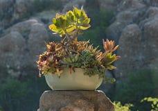 Ceramiczny kwiatu puchar z różnymi sukulentami fotografia royalty free