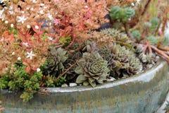 Ceramiczny plantator sukulenty Obraz Royalty Free