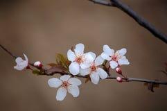 Cerasifera de Prunus fleurissant au printemps photo libre de droits