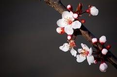 Cerasifera de Prunus fleurissant au printemps images stock