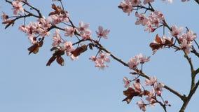 cerasifera del Prunus del flor (Blutpflaume) almacen de metraje de vídeo