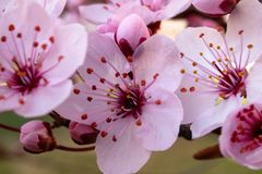Цветение cerasifera сливы сливы вишни или сливы myrobalan стоковые фото