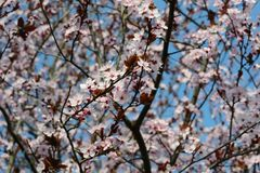 Cerasifera van Prunus Royalty-vrije Stock Afbeelding