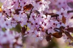 Cerasifera vermelho do Prunus da ameixa de cereja fotos de stock