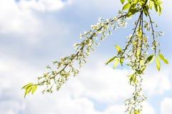 Cerasoides blancs de Prunus avec le ciel bleu photos stock