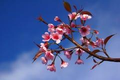 Cerasoides 3 de Prunus Photographie stock libre de droits