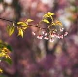 Cerasoides del Prunus Immagine Stock