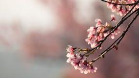 Cerasoides del Prunus Fotografie Stock