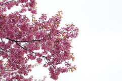 Cerasoides del Prunus a Chiang Mai immagine stock libera da diritti