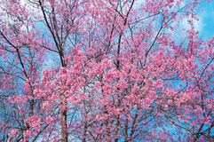 Cerasoides del Prunus a Chiang Mai Tailandia immagine stock