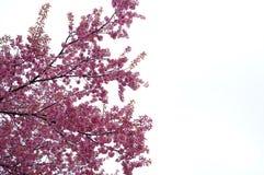 Cerasoides del Prunus a Chiang Mai, Tailandia immagine stock libera da diritti
