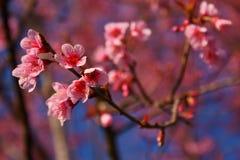 Cerasoides 1 do Prunus Fotografia de Stock