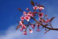Cerasoides 3 do Prunus Fotografia de Stock Royalty Free