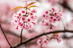 Cerasoides Himalaias selvagens de Cherry Prunus Fotografia de Stock