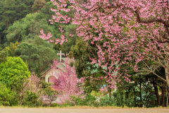 Cerasoides Himalaias selvagens de Cherry Prunus Foto de Stock