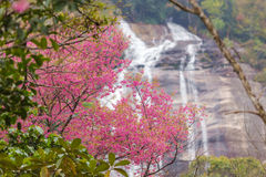 Cerasoides Himalaias selvagens de Cherry Prunus Imagem de Stock Royalty Free