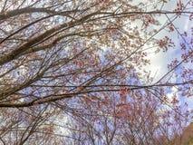 Cerasoides Himalaias selvagens do blossomsPrunus da cereja que florescem no inverno em Phu Lom Lo Fotos de Stock Royalty Free