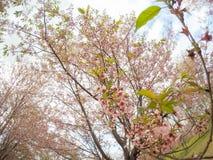 Cerasoides Himalaias selvagens do blossomsPrunus da cereja que florescem no inverno em Phu Lom Lo Foto de Stock
