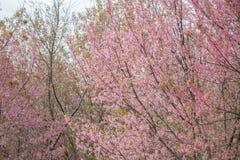 Cerasoides Himalaias selvagens do blossomsPrunus da cereja que florescem no inverno em Phu Lom Lo, Kok Sathon, Dan Sai District,  Fotos de Stock