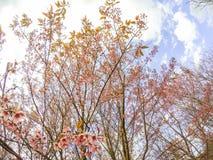 Cerasoides Himalaias selvagens do blossomsPrunus da cereja que florescem no inverno em Phu Lom Lo, Kok Sathon, Dan Sai District,  Foto de Stock