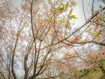 Cerasoides Himalaias selvagens do blossomsPrunus da cereja que florescem no inverno em Phu Lom Lo, Kok Sathon, Dan Sai District,  Fotos de Stock Royalty Free