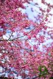 Cerasoides Himalayan salvajes de Cherry Prunus en Khun Wang, Doi Inthanon, Chiangmai, Tailandia Fotos de archivo