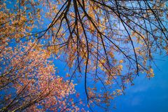Cerasoides Himalayan salvajes hermosos de Cherry Prunus, Sakura delantero fotografía de archivo libre de regalías