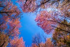 Cerasoides Himalayan salvajes hermosos de Cherry Prunus, Sakura delantero foto de archivo
