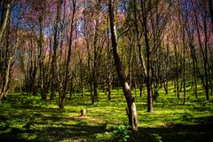 Cerasoides Himalayan salvajes hermosos de Cherry Prunus, Sakura delantero foto de archivo libre de regalías