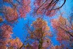 Cerasoides Himalayan salvajes hermosos de Cherry Prunus, Sakura delantero imagen de archivo