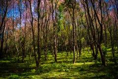 Cerasoides Himalayan salvajes hermosos de Cherry Prunus, Sakura delantero fotografía de archivo