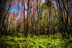 Cerasoides Himalayan salvajes hermosos de Cherry Prunus, Sakura delantero fotos de archivo