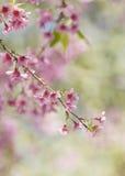 Cerasoides, vista bella nel fondo di struttura Fotografie Stock Libere da Diritti