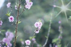Cerasoides, vista bella nel fondo di struttura Fotografia Stock Libera da Diritti