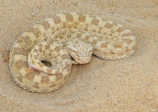 Cerastes cerastes. (Avicenna viper or Sahara sand viper), an  venomous viper species found in the deserts of North Africa photographed in its natural Royalty Free Stock Photo