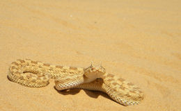 Cerastes cerastes (Sahara sand viper) royalty free stock photos