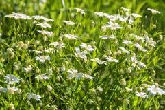 Cerastio del prato dei fiori bianchi Immagini Stock Libere da Diritti