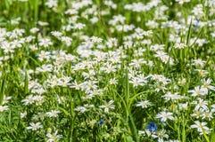 Cerastio del prato dei fiori bianchi Fotografia Stock Libera da Diritti
