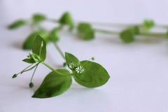 Cerastio organico fresco su fondo bianco Giovane gusto molto delicatamente con sapore dei dadi Potete utilizzarli in fresco fotografia stock