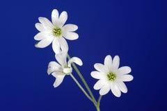 Cerastium - decorative flower Stock Photo