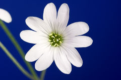 Cerastium Royalty Free Stock Photography