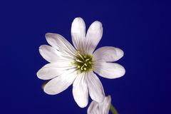 Cerastium flowers Royalty Free Stock Photos