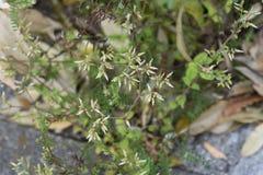 Cerastium glomeratum royalty free stock photos